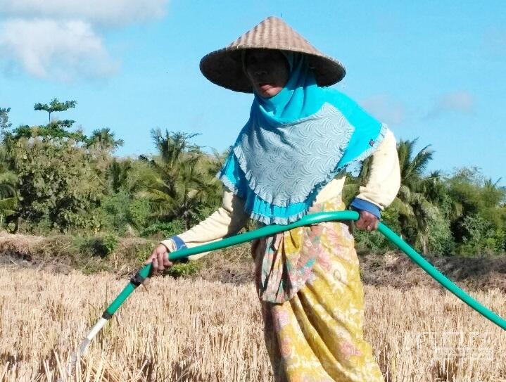 Kekurangan Air, Petani di Lombok Tengah Tanam Tembakau