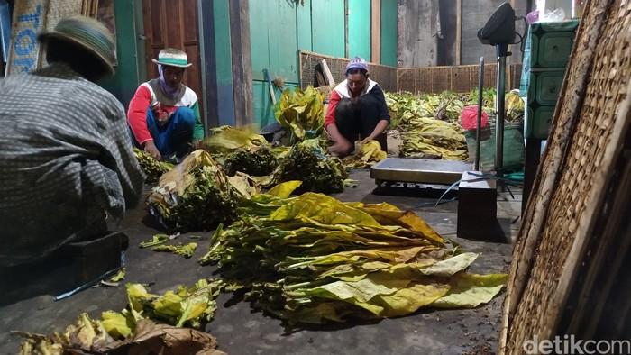 Melihat Langsung Budaya Sambatan Merajang Tembakau di Desa Nglelo