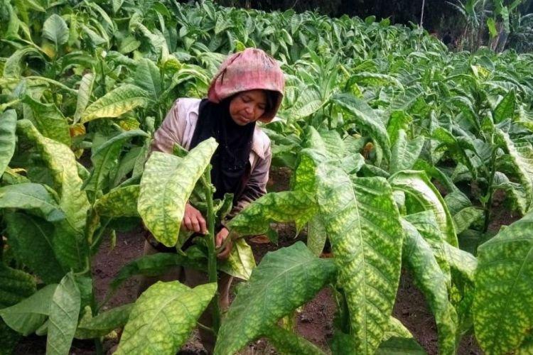 Ragam Jenis Tembakau di Indonesia