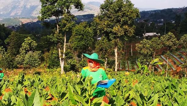 Agensia Pengendali Hayati Solusi Meningkatkan Produktivitas Tembakau Jawa Barat