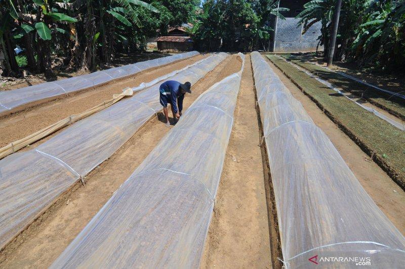 Petani Tembakau Madura Mulai Menyiapkan Pembibitan