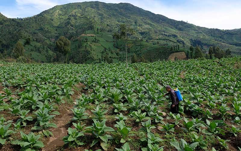 Probolinggo Siapkan 3 Lokasi Demplot Perbenihan Tembakau Bersertifikat