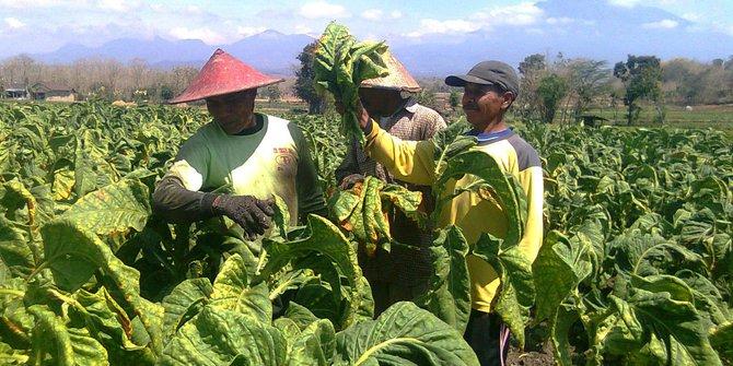 Aturan KTR Rugikan Petani Tembakau di Indonesia