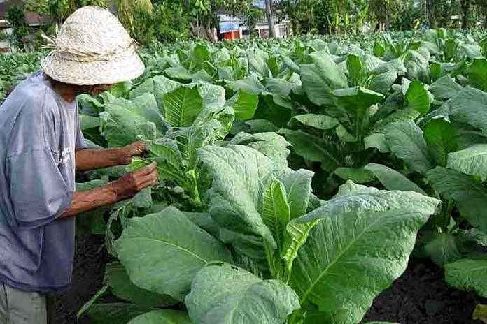 Subak Ageng Sukawati, Kawasan Pertanian Tembakau di Bali