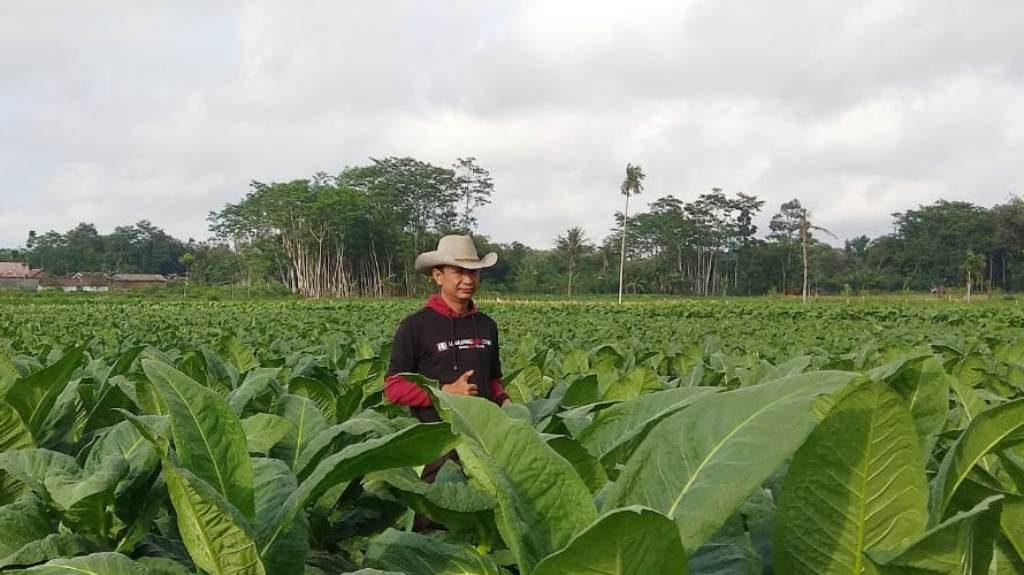 Petani Tembakau  Lumajang Dapat Tambahan Kuota 700 Ton