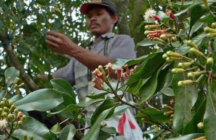 5 Provinsi Penghasil Cengkeh Tertinggi di Indonesia