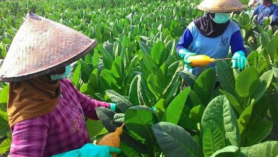 Kesejahteraan Petani Tembakau, Pemerintah Diharapkan Hadir Dorong Kemitraan