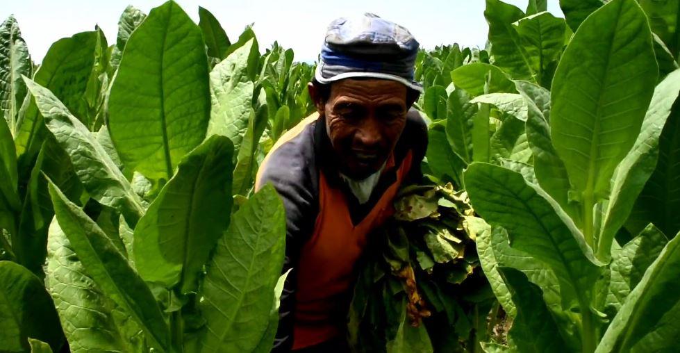 Petani Panen Tembakau, Kualitas Lagi Bagus Malah Tidak Laku