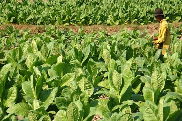 Tiap Tahun Petani Pangandaran Hasilkan 150 Ton Daun Tembakau Basah