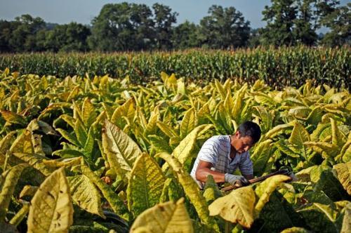 Perda KTR Merugikan Petani Tembakau