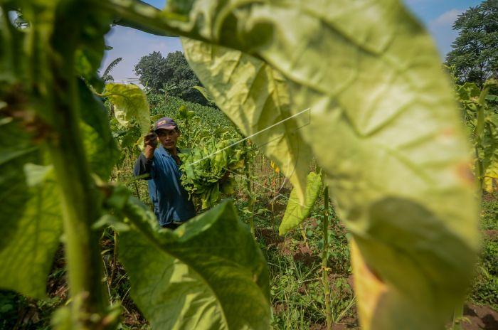 Petani Desak Pemerintah Tidak Buka Impor Tembakau